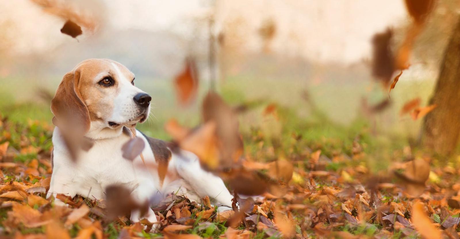 Beagle genießt das Herbstwetter